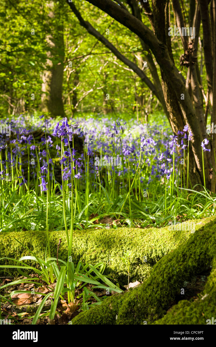 Springtime Bluebell Wood - Stock Image