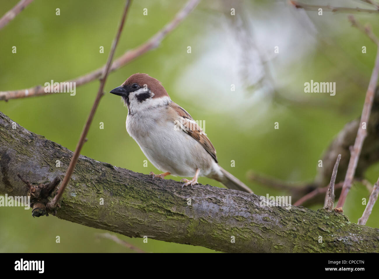 Eurasian Tree Sparrow, Passer montanus, on a branch, East Yorkshire, UK - Stock Image