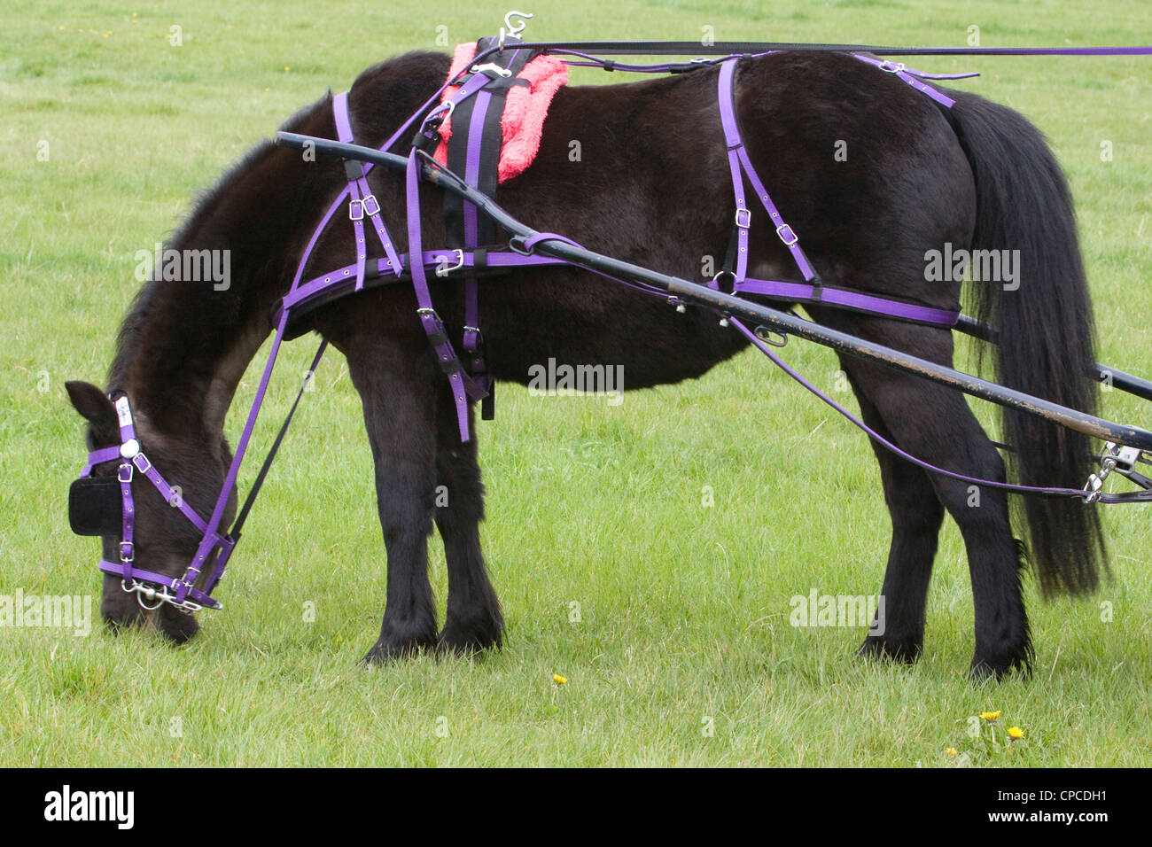 A Scurry Driving Pony taking a break eating grass - Stock Image