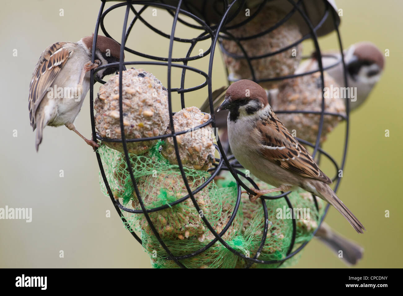 Eurasian Tree Sparrow, Passer montanus, on bird feeder East Yorkshire, UK - Stock Image