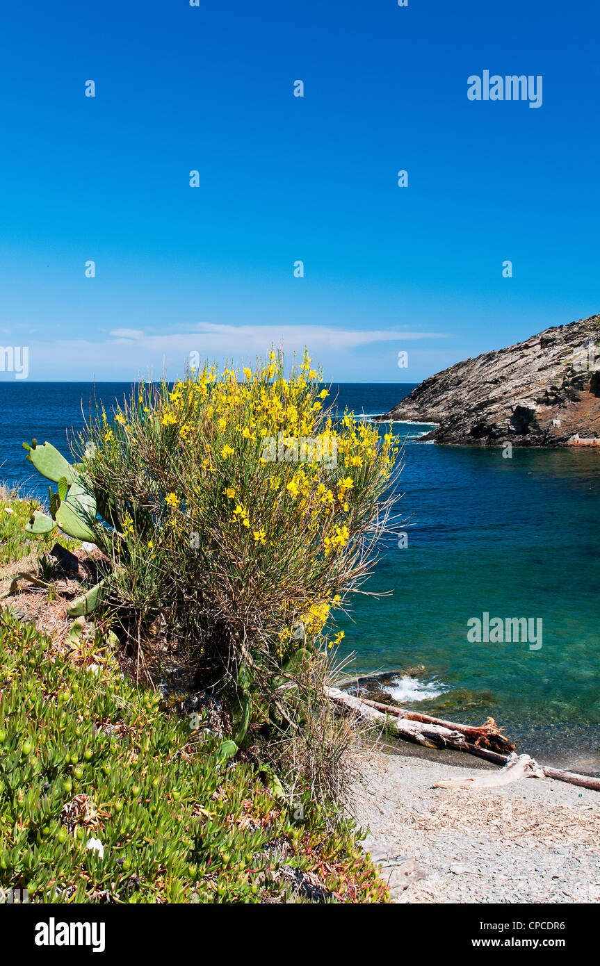 A broom shrub in flower with small beach in the background, Cadaqués, Costa Brava, Catalonia (Spain) - Stock Image