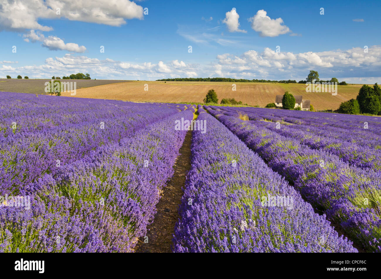 Rows of lavender plants at snowshill lavender farm cotswolds england uk gb eu europe - Stock Image