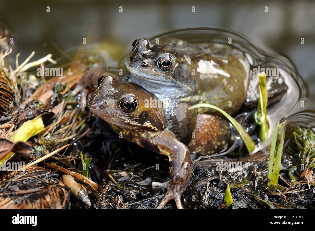 Two common frogs mating by pond edge - Stock Image