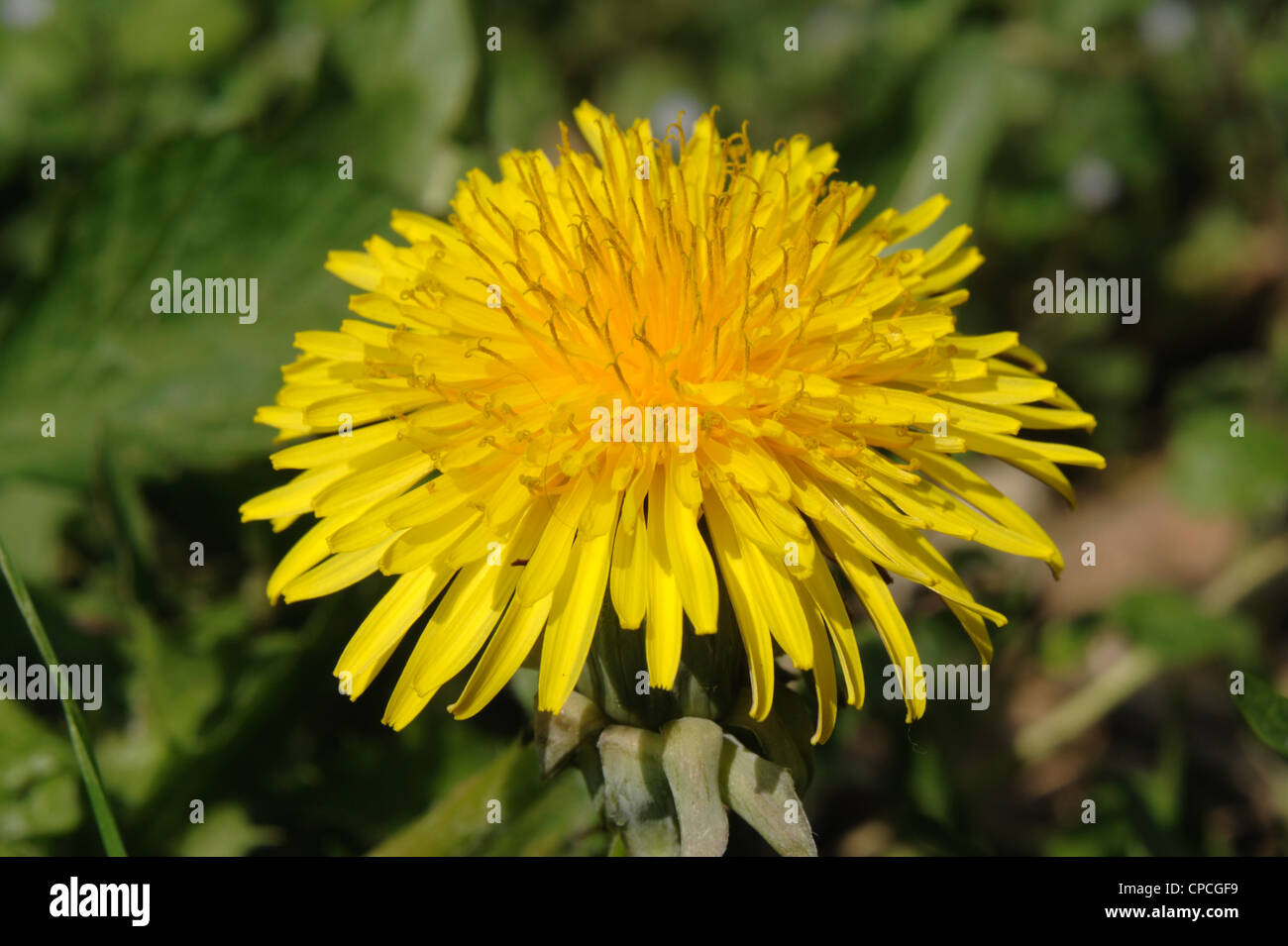 Dandelion (Taraxacum officinale) flower - Stock Image