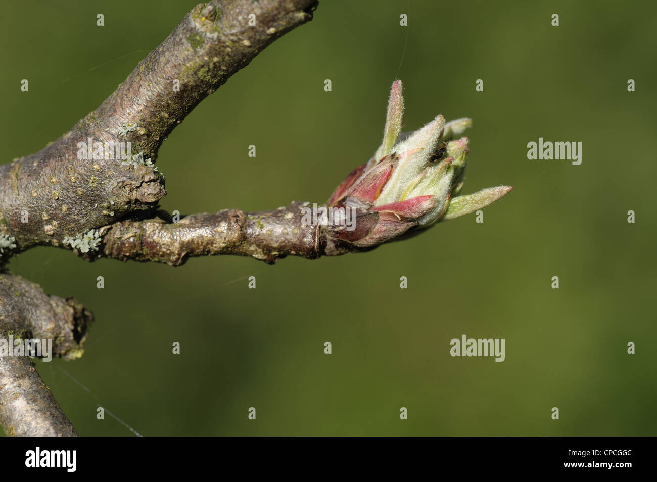 Apple bud on a short twig with leaves expanding in spring Stock Photo