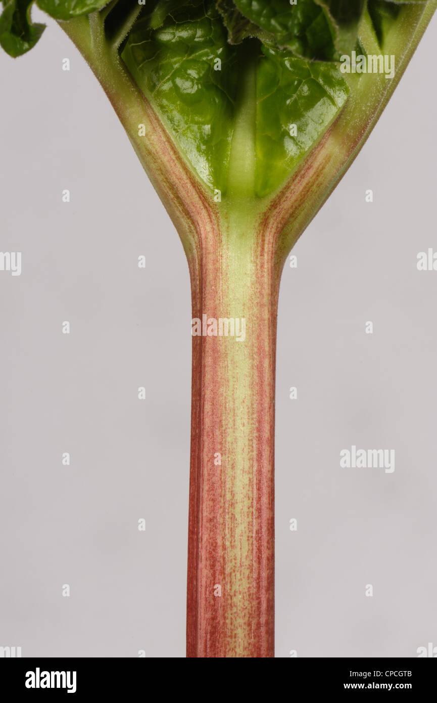 Stem, petiole of mature rhubarb at leaf junction - Stock Image
