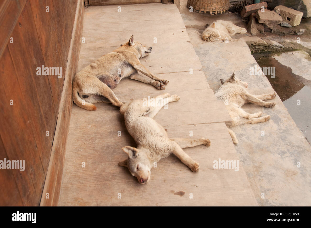Four dogs sleeping on the steps of a Basha Miao (Gun Men) house, Southern China - Stock Image