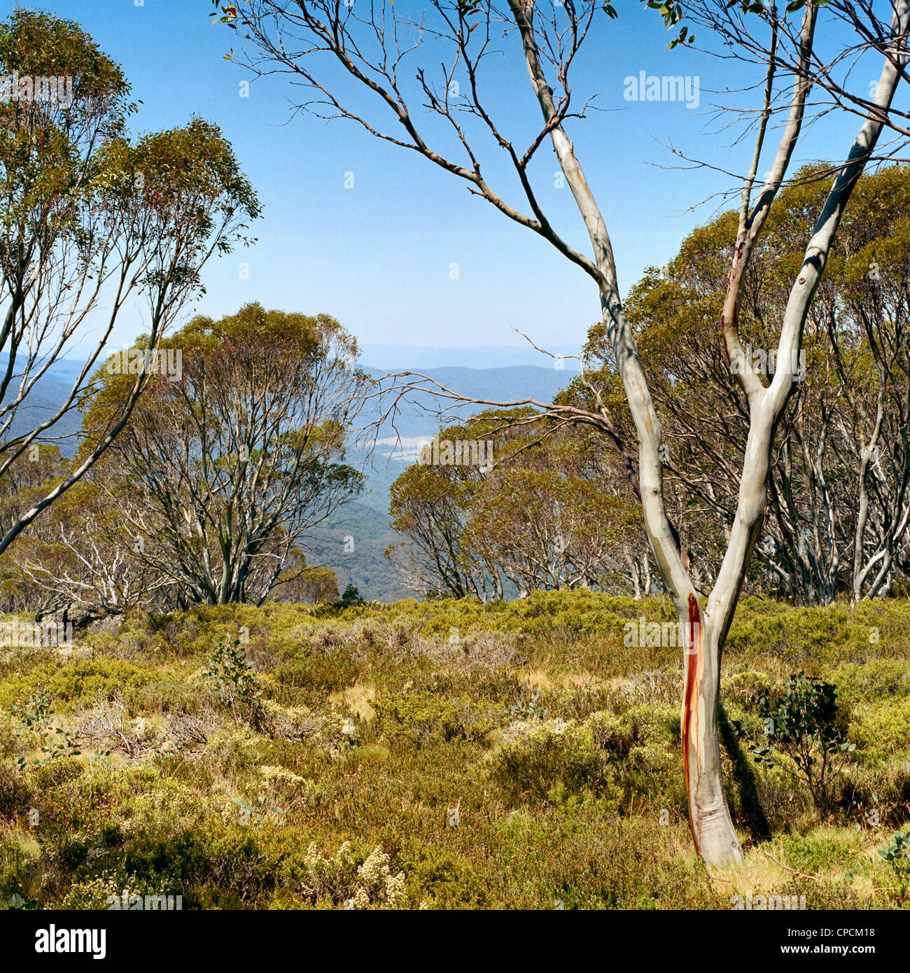 Snow gum and scrubby vegetation in the Victorian High Country Australia - Stock Image