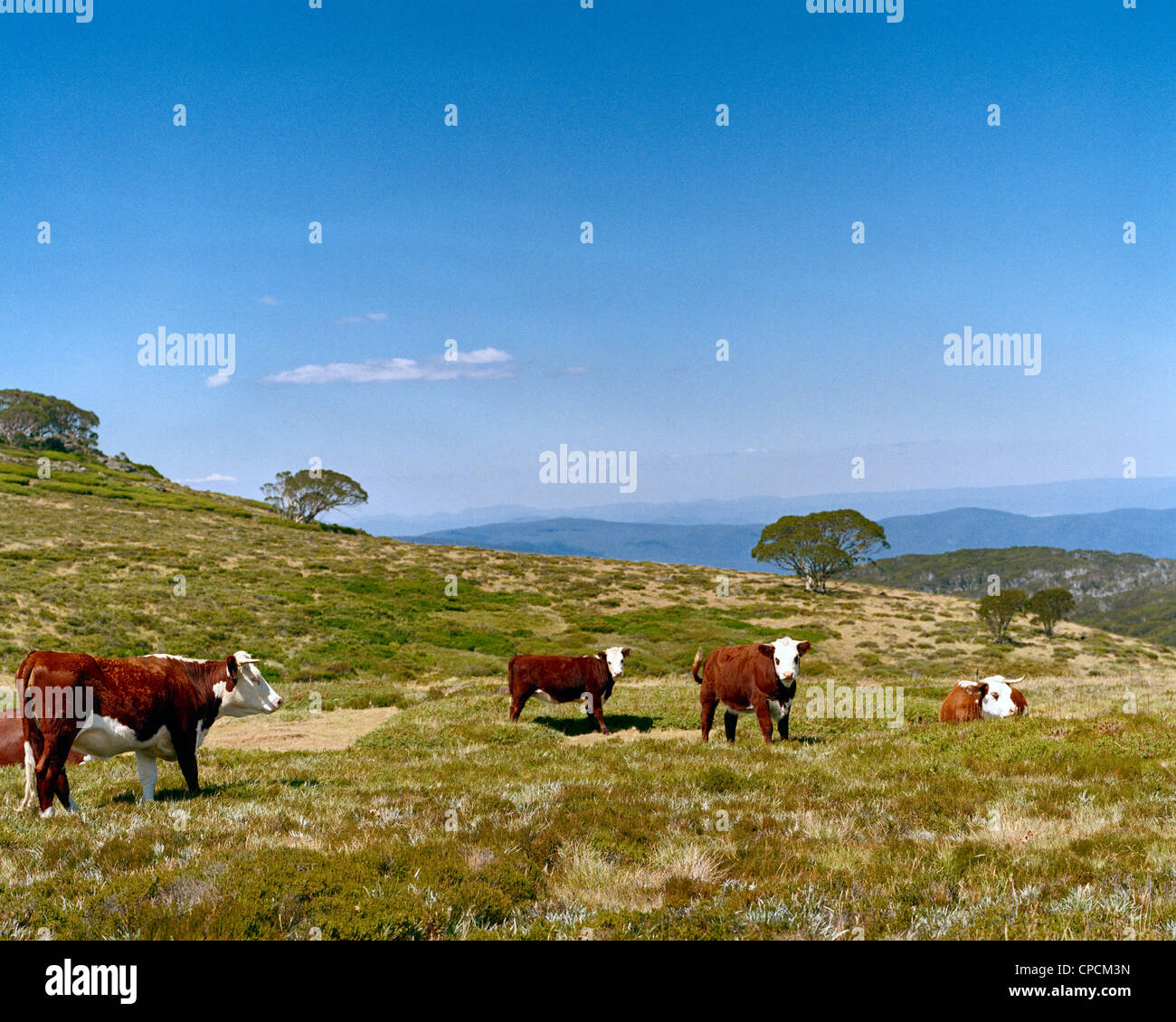 Hereford cattle in the Victorian High Country Australia - Stock Image