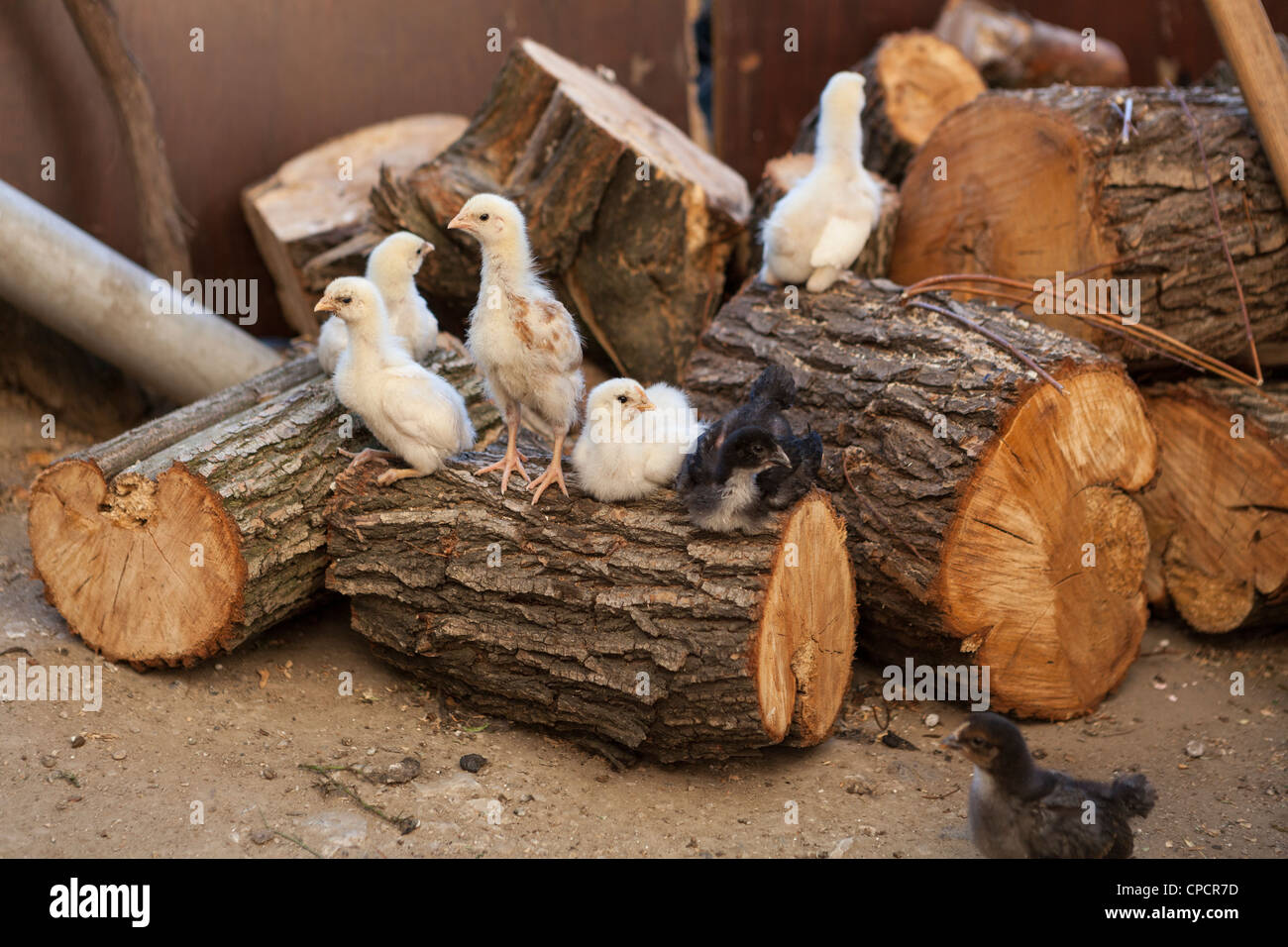 CBaby chicks in a free range chicken farm - Stock Image