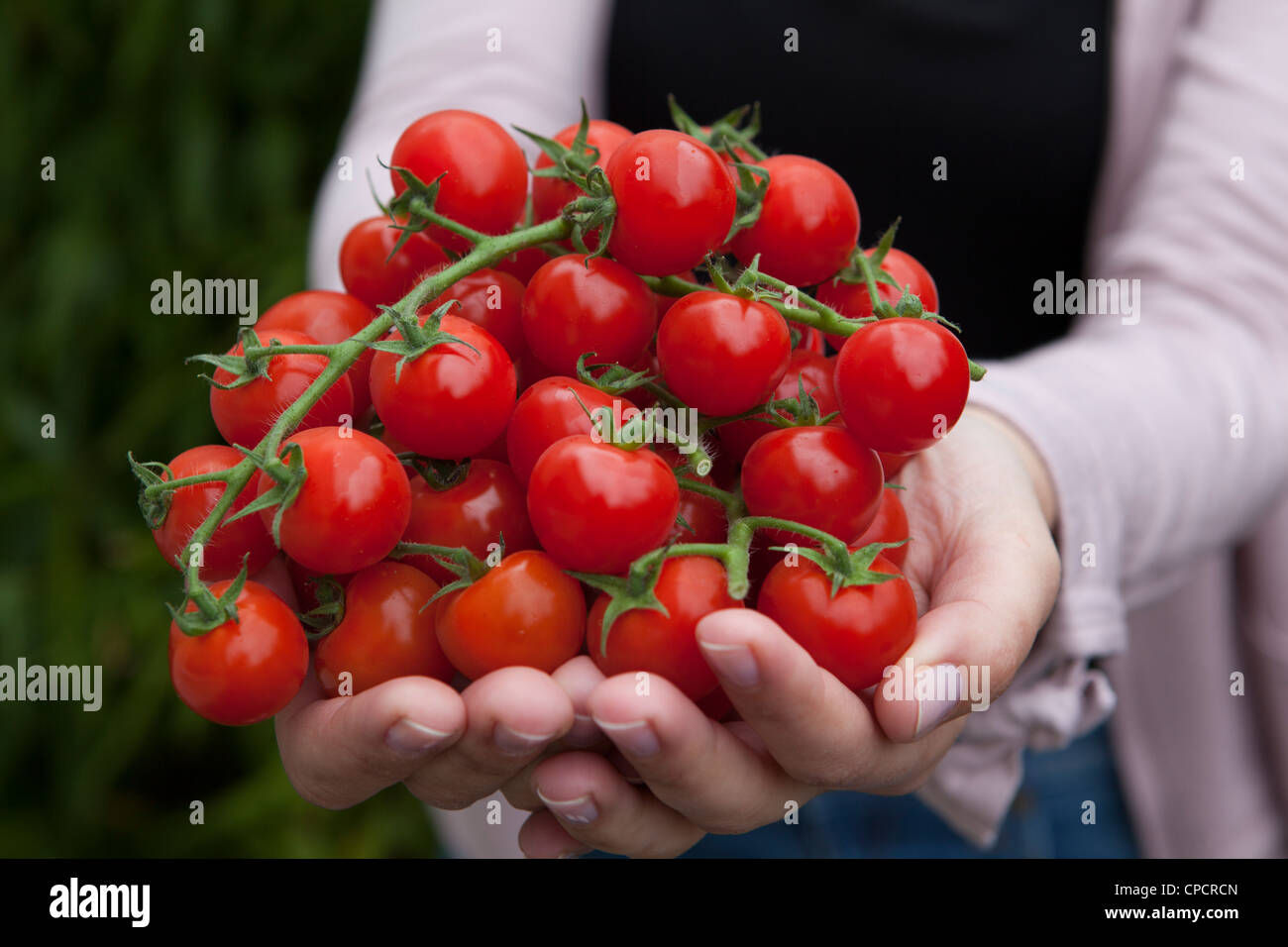 Person holds fresh cherry tomatoes - Stock Image
