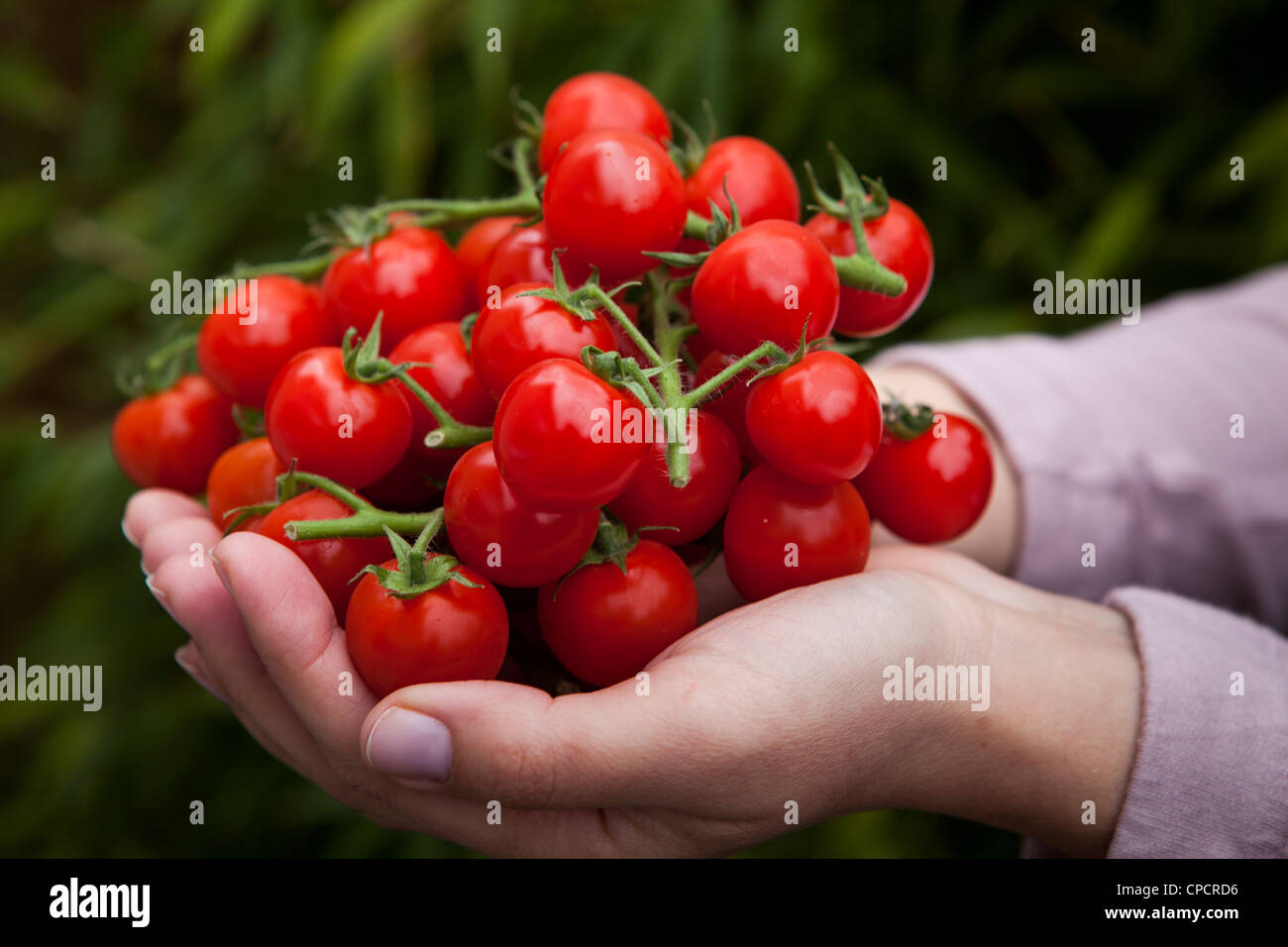 Person holds fresh cherry tomatoes-side view - Stock Image