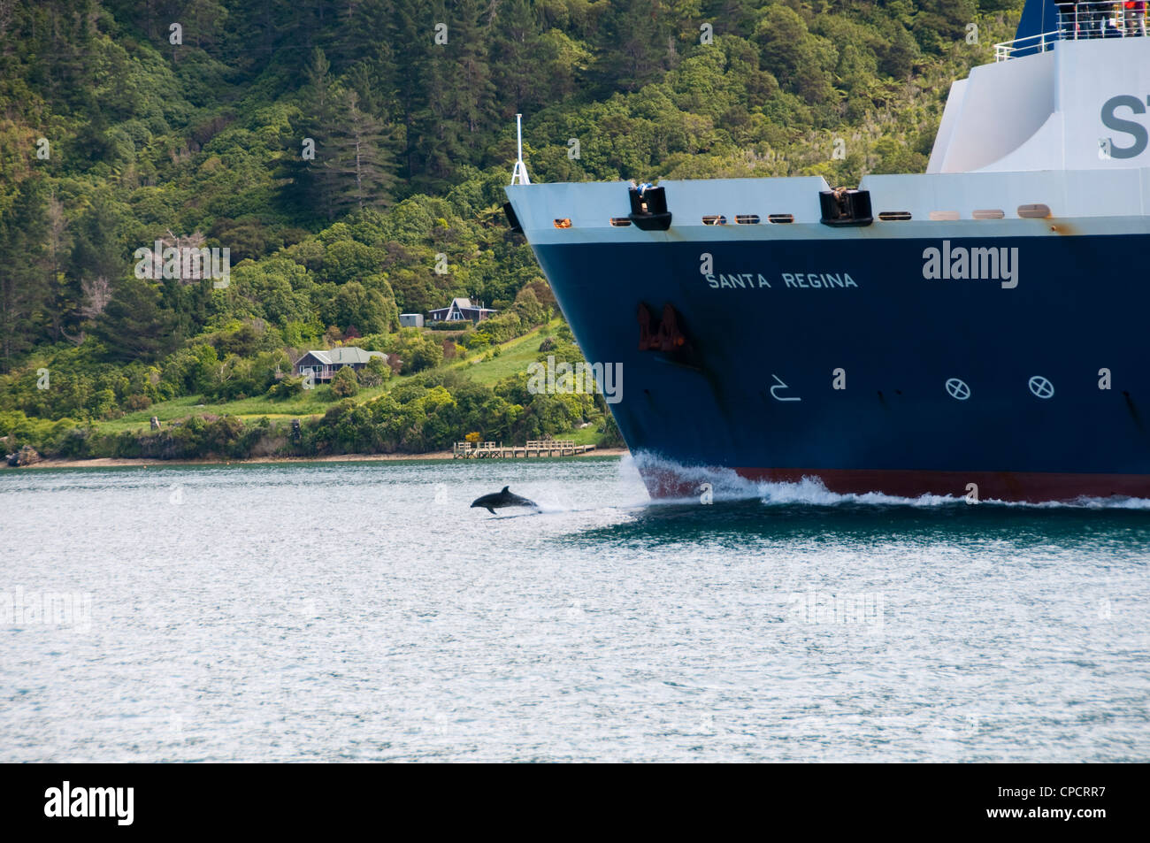 New Zealand South Island Picton, dolphins riding bow wave of ferry in Marlborough Sounds. - Stock Image
