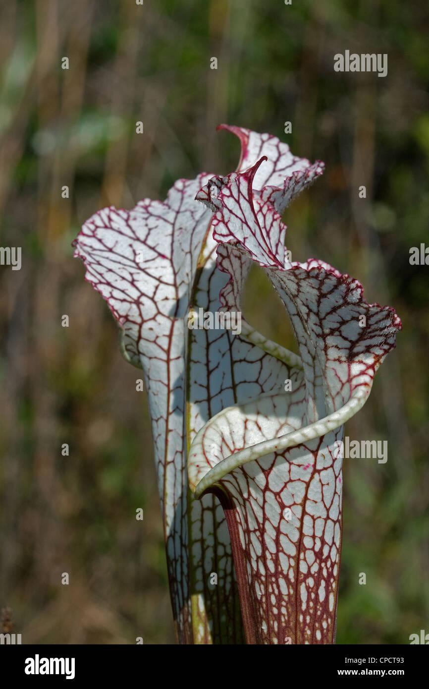 Carnivorous White-topped Pitcher Plant  Sarracenia leucophylla Alabama  USA - Stock Image