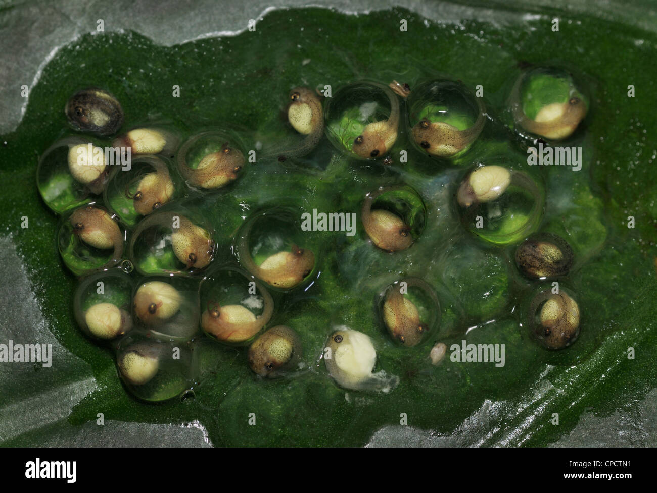 An egg mass with tadpoles of the Red-eyed Tree Frog, Agalychnis callidryas, Costa Rica - Stock Image