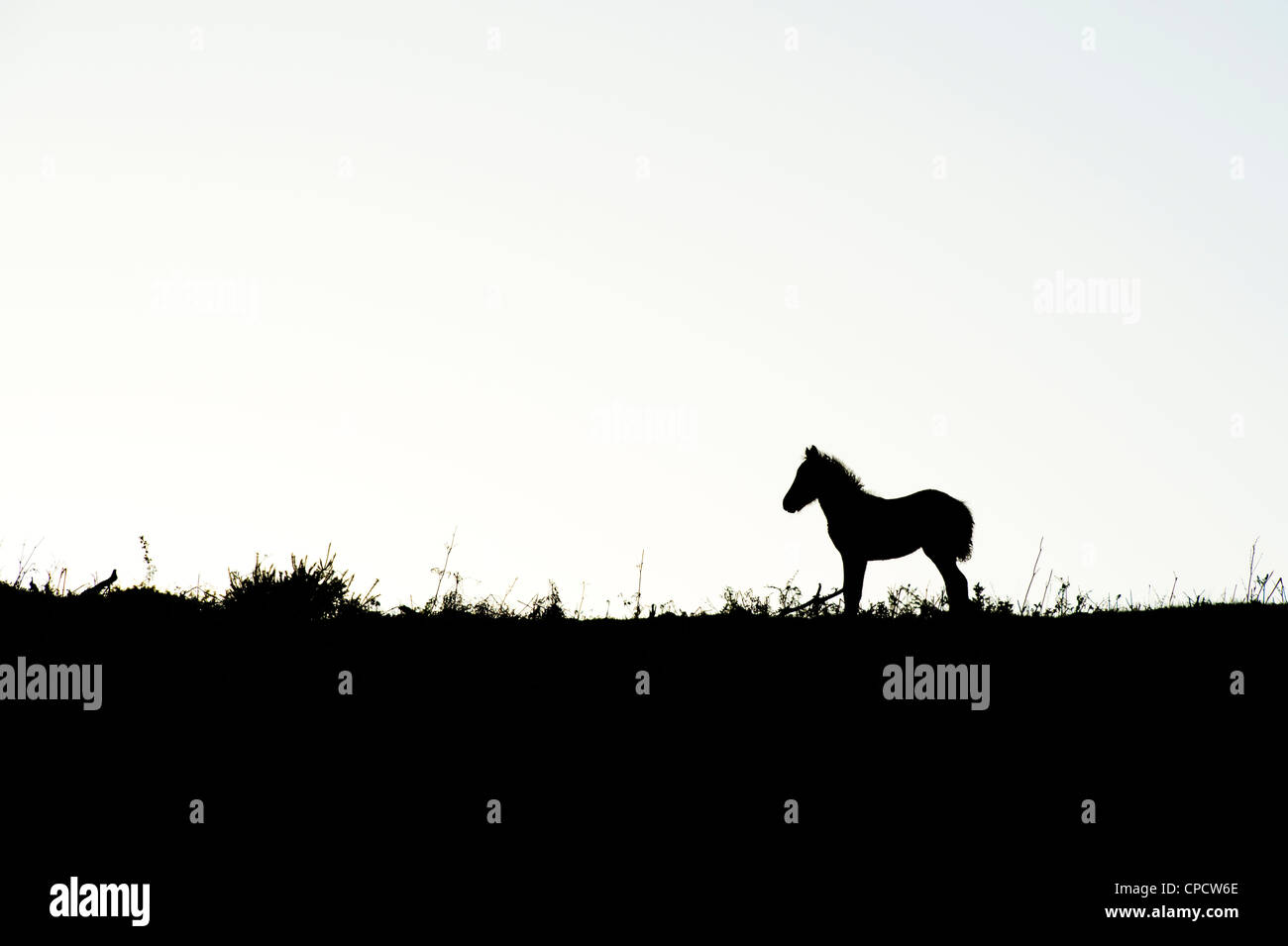 Dartmoor pony / foal silhouette . Dartmoor national park, Devon, England Stock Photo