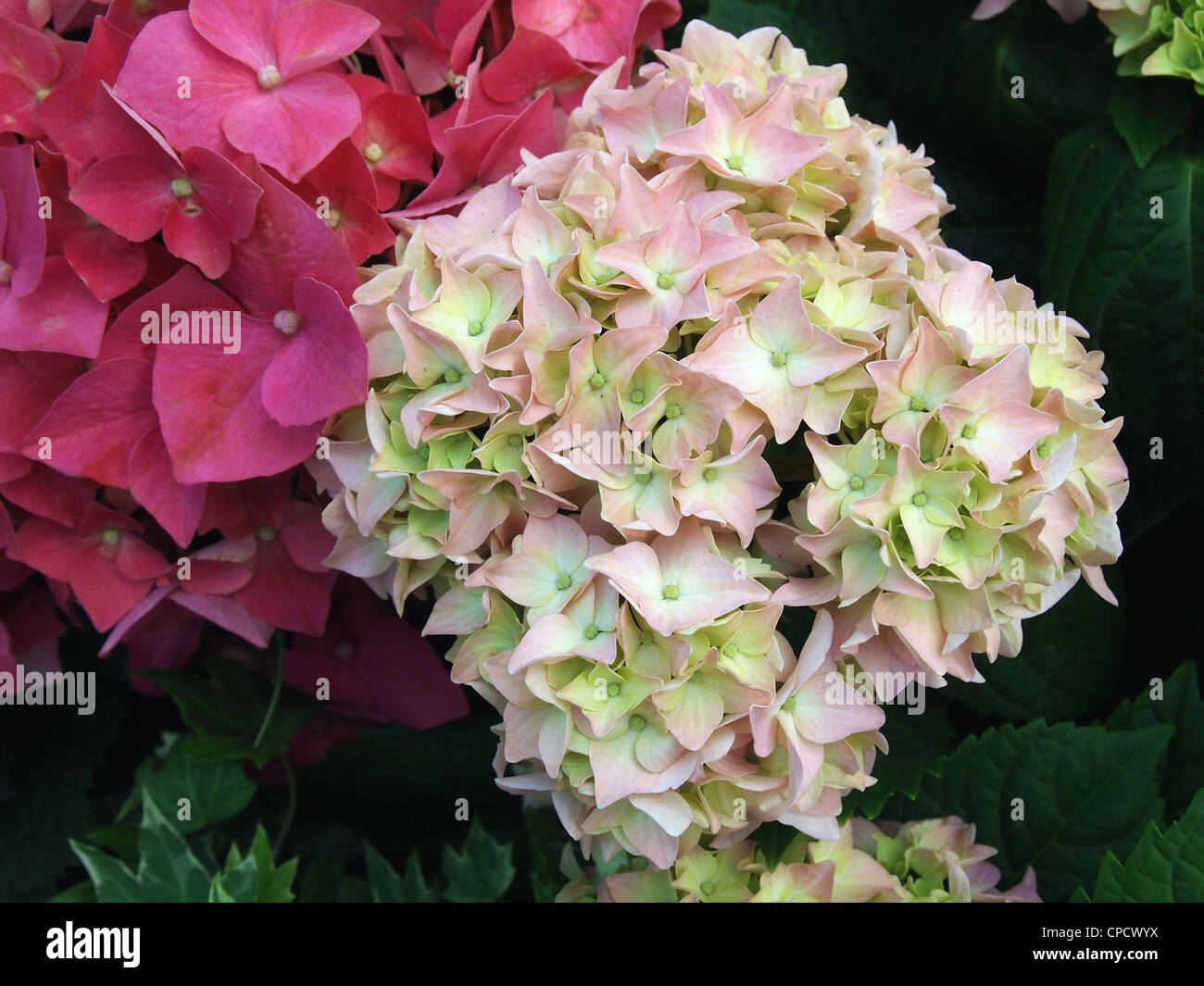 Close-up of Red and Pink Hydrangea flowers in garden - Stock Image