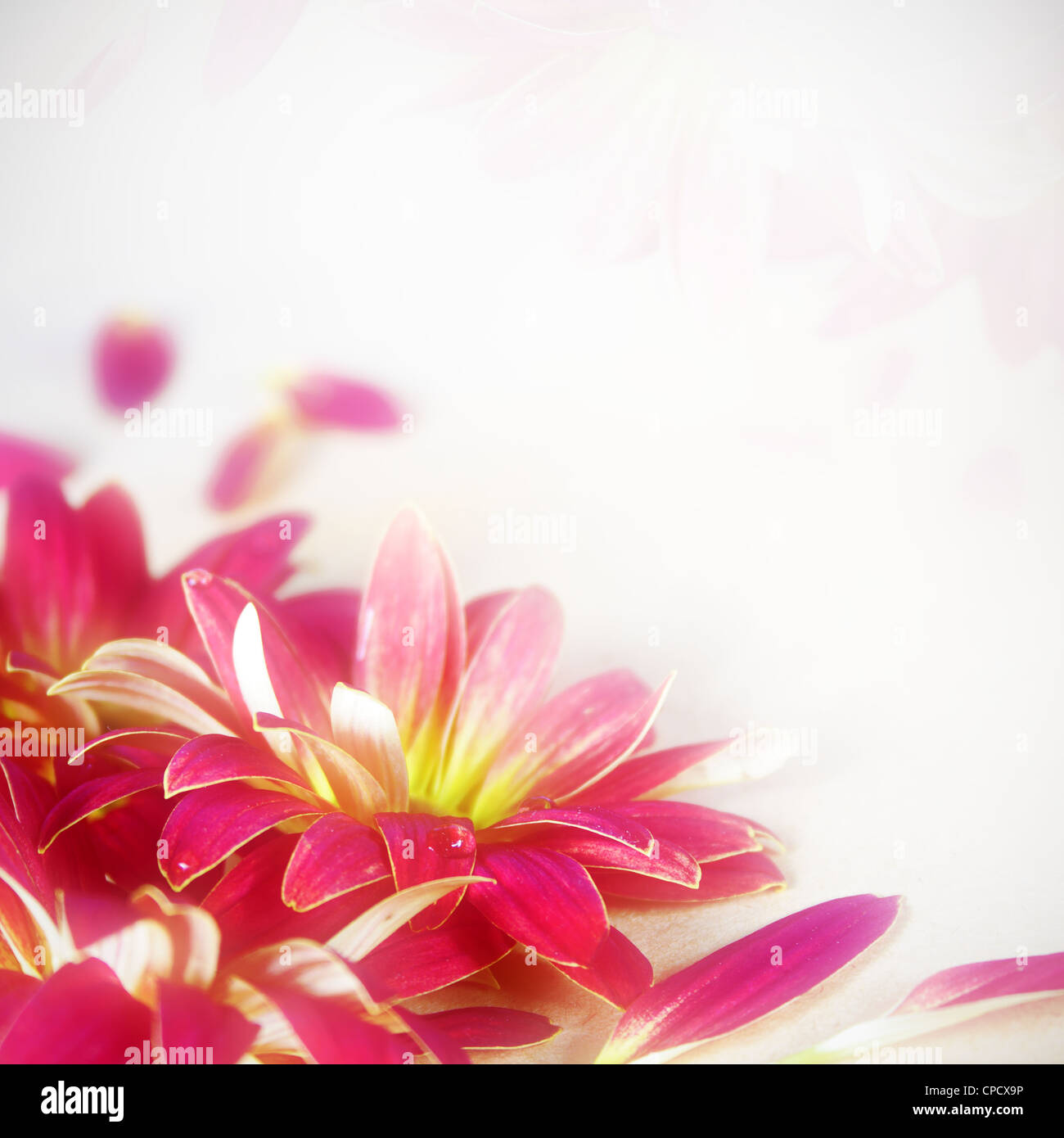 Floral Magenta Flower Background Very Shallow DOF - Stock Image