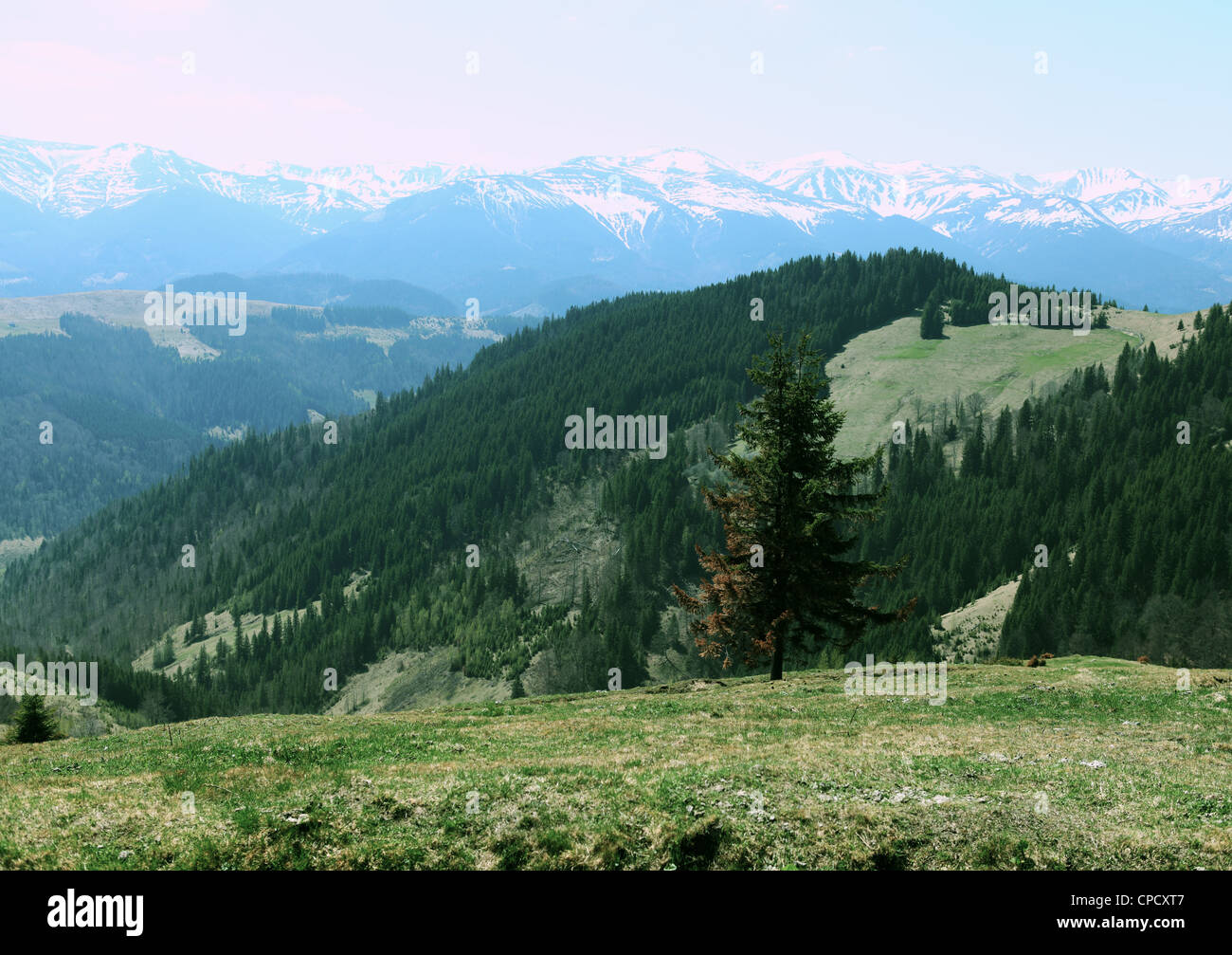 The Lonely Pine Tree and the View for the Montenegrin Ridge in snow, Carpathians, Ukraine Stock Photo