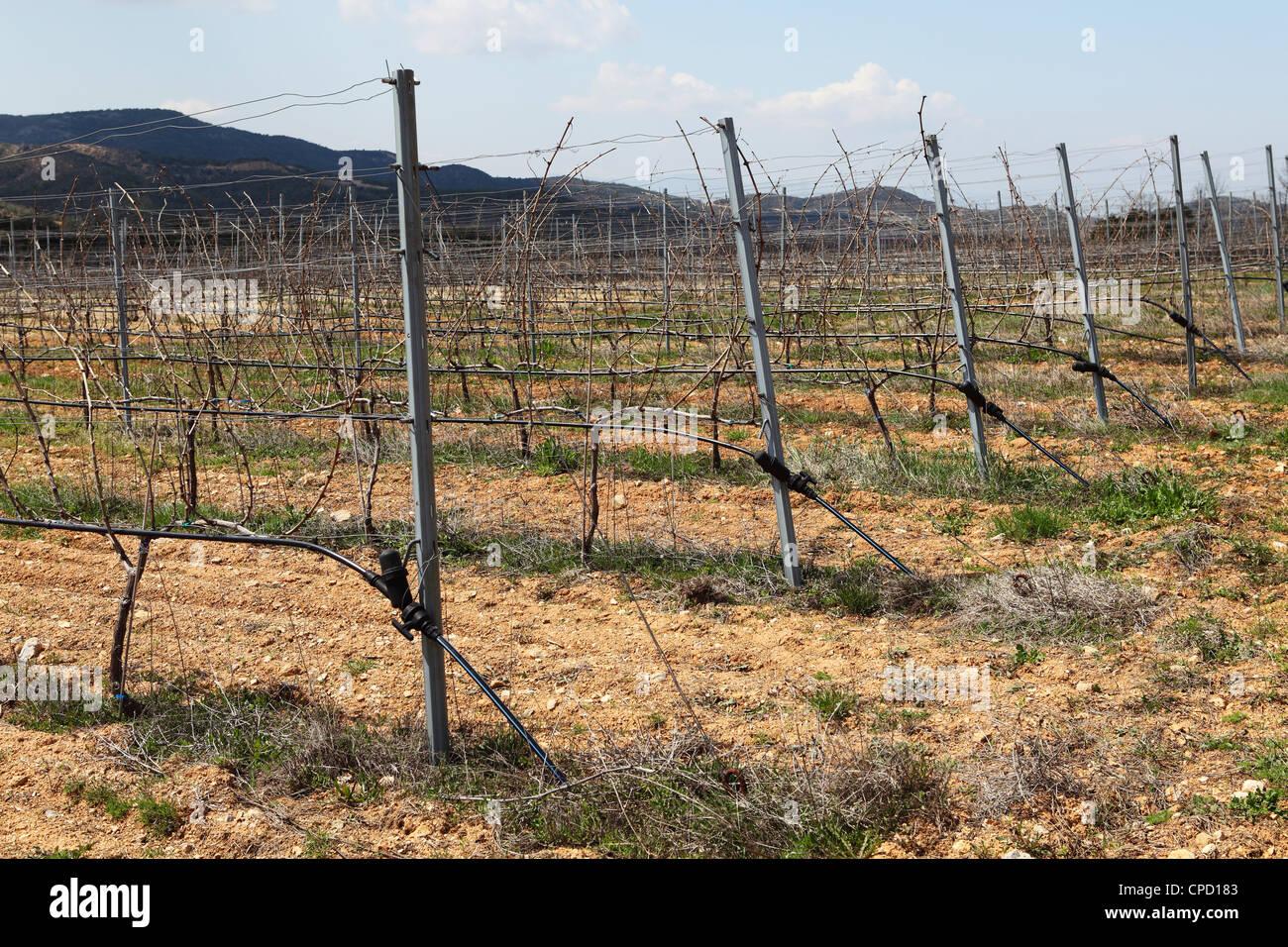 Greek vines early in the season. - Stock Image