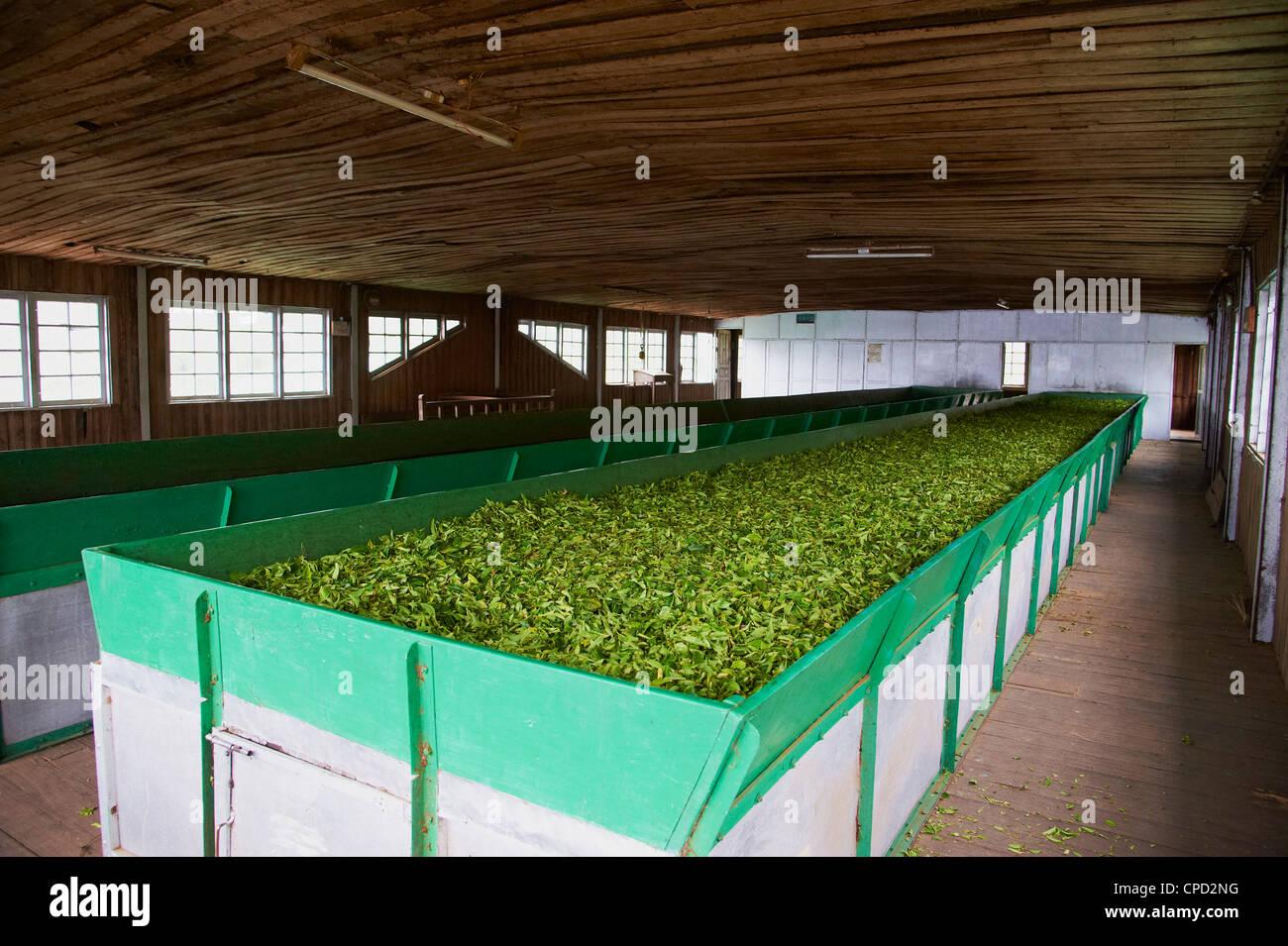 Sivakasi tea estate, the world's highest tea factory, Munnar, Kerala, India, Asia - Stock Image