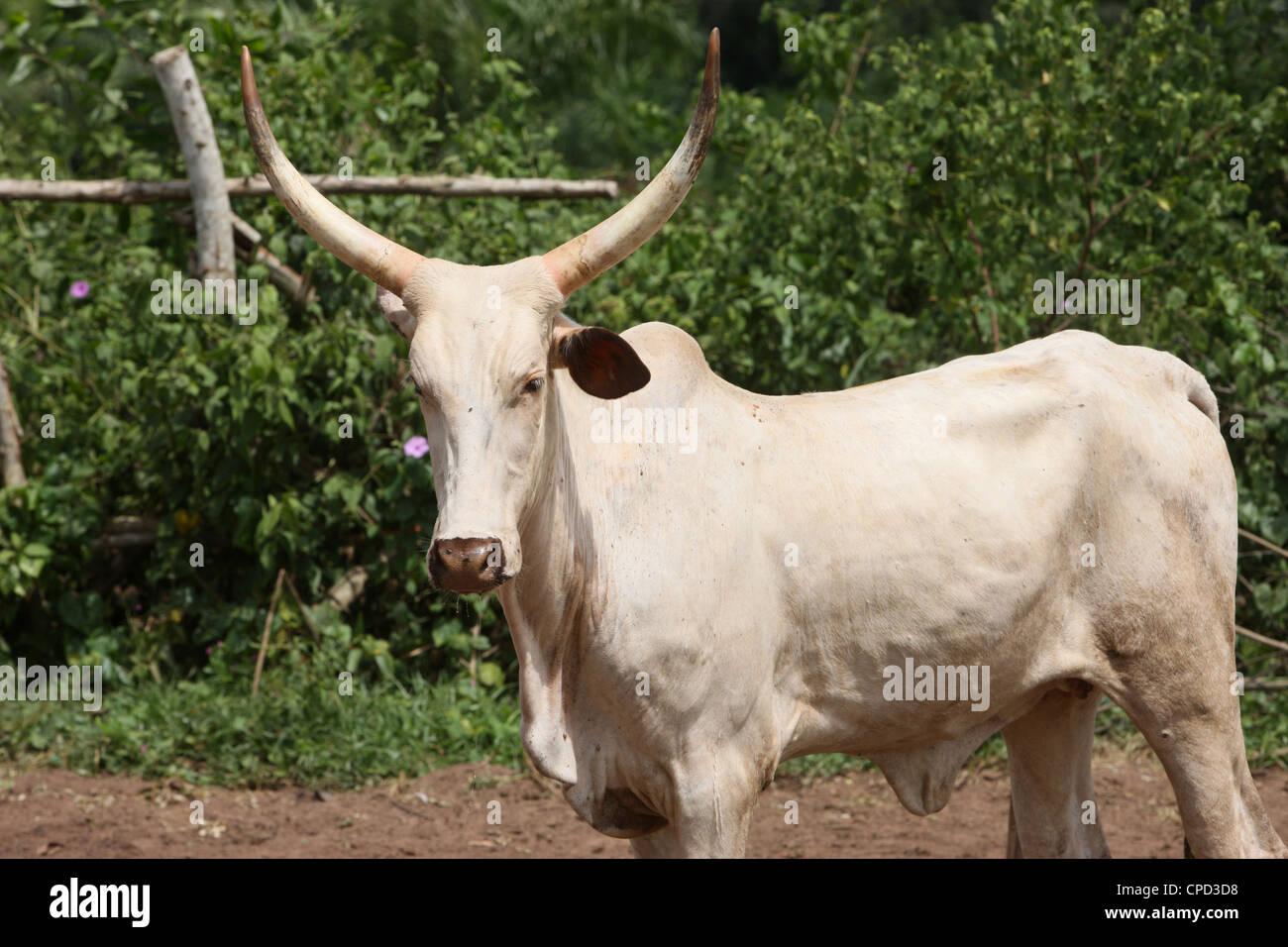 Cattle ranch, Tori, Benin, West Africa, Africa - Stock Image
