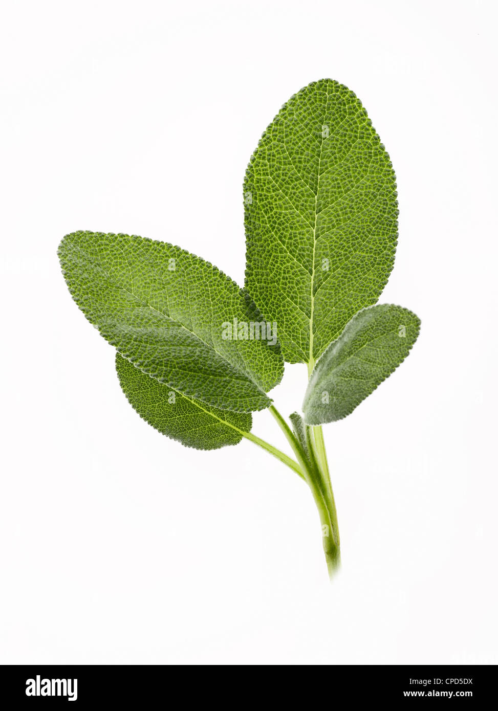 fresh sprig of sage leaves - Stock Image