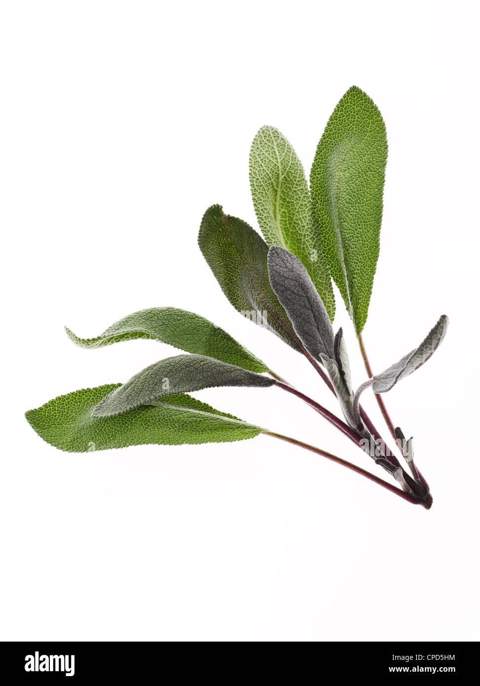 fresh sprig of sage leaves - Stock Image