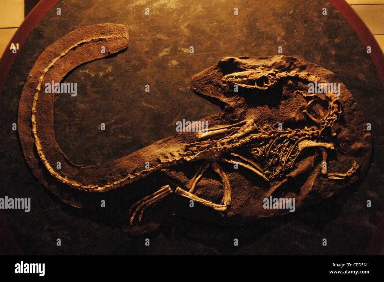 Coelophysis skeleton. 210 million years. Late Triassic. Natural History Museum. London. United Kingdom. - Stock Image