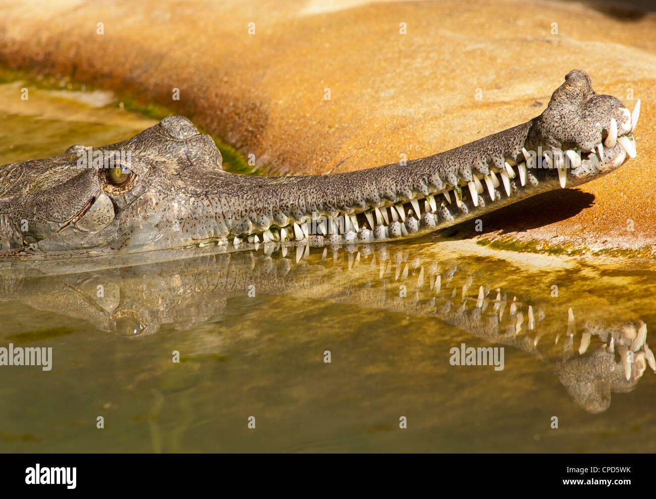The gharial (Gavialis gangeticus) is a crocodilian of the family Gavialidae that is native to the Indian subcontinent. - Stock Image