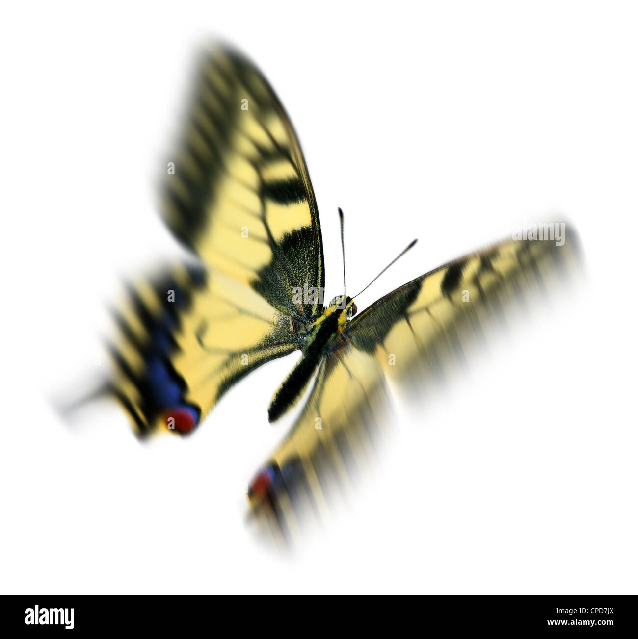 Common swallowtail (Papilio machaon) in flight, with motion blur - Stock Image