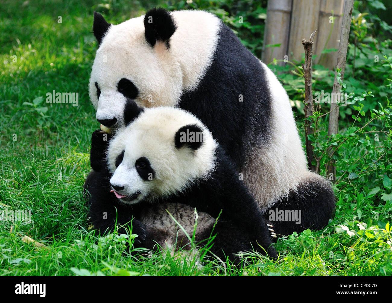 Panda mom and cub play on grass. Chengdu, Sichuan Province, China. - Stock Image