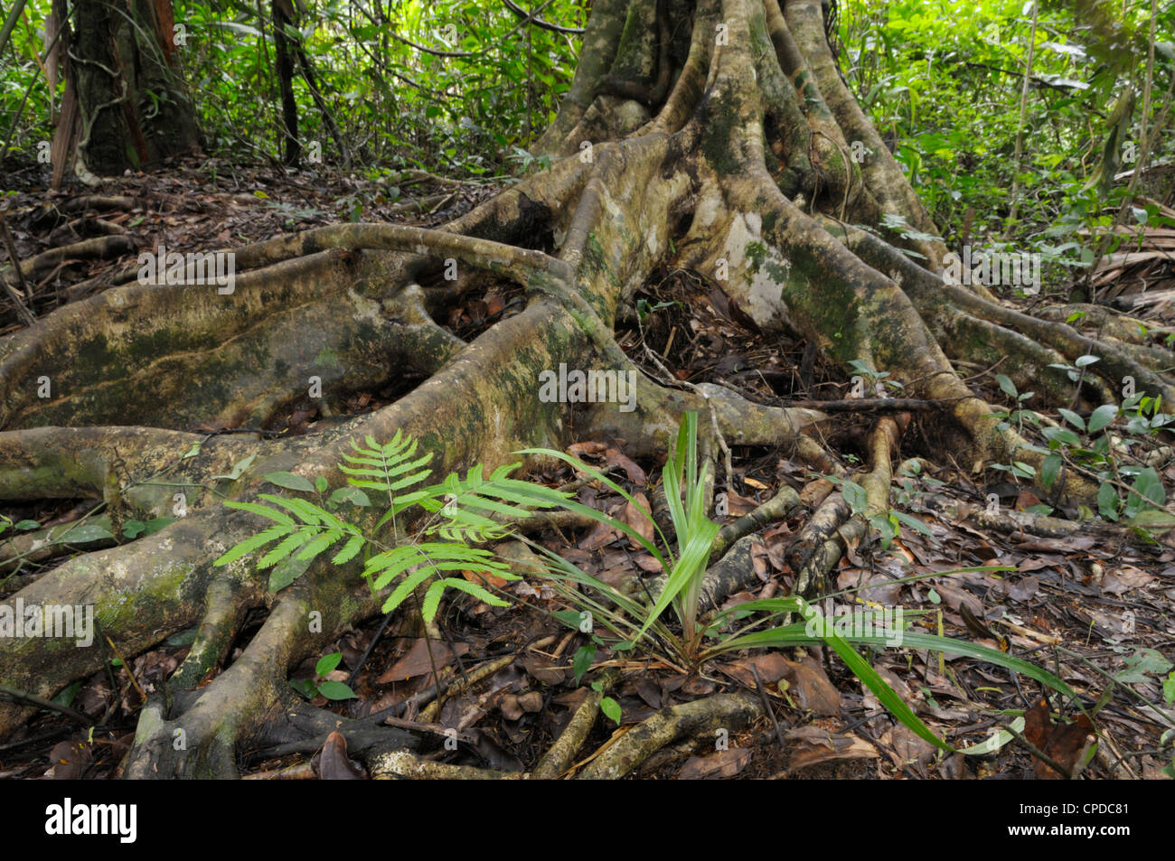 Long surface roots and a Mimosa sp plant, lowland rainforest, Tortuguero National Park, Costa Rica - Stock Image