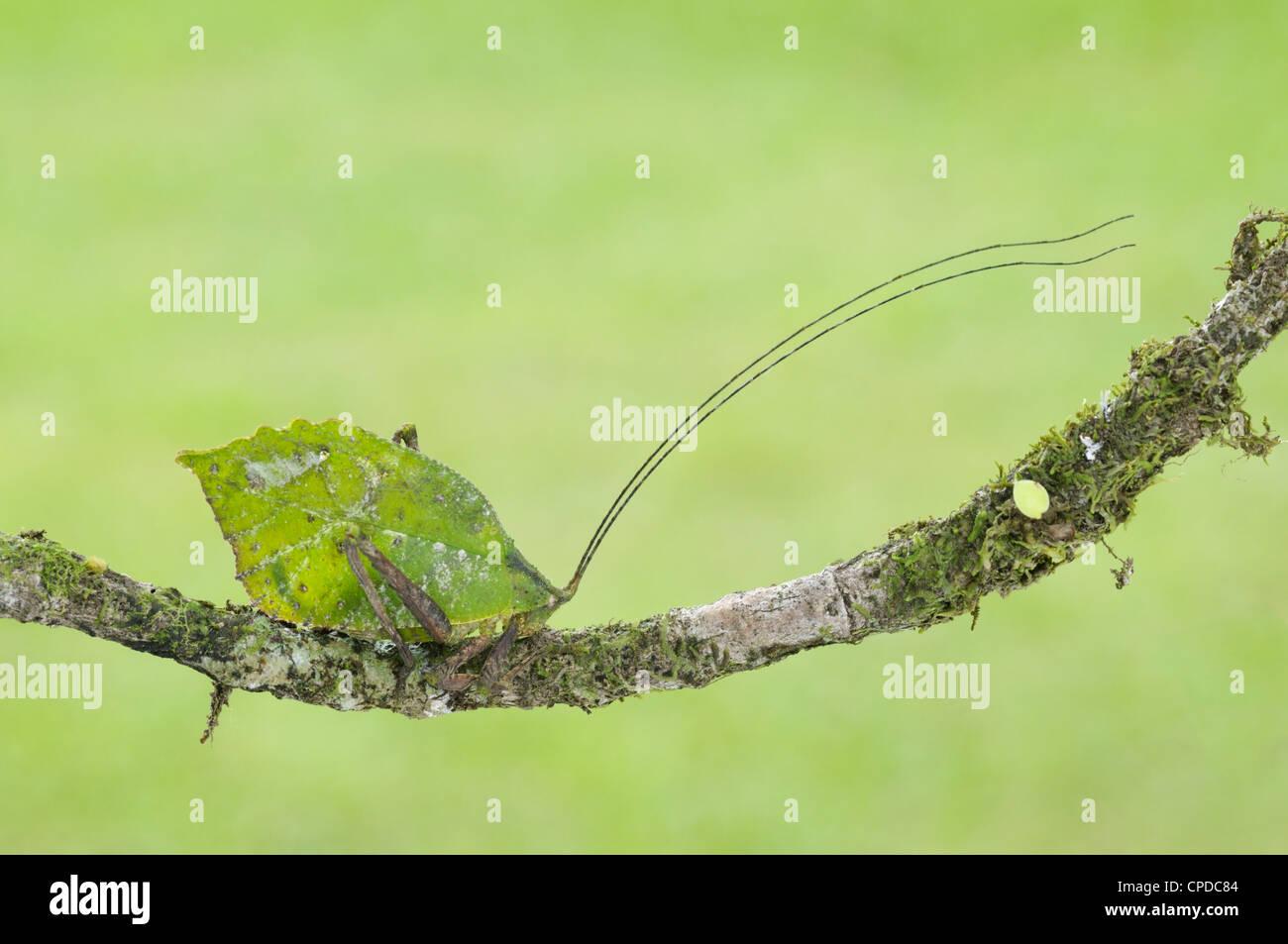 Leaf-mimic katydid, Tortuguero National Park, CR - Stock Image