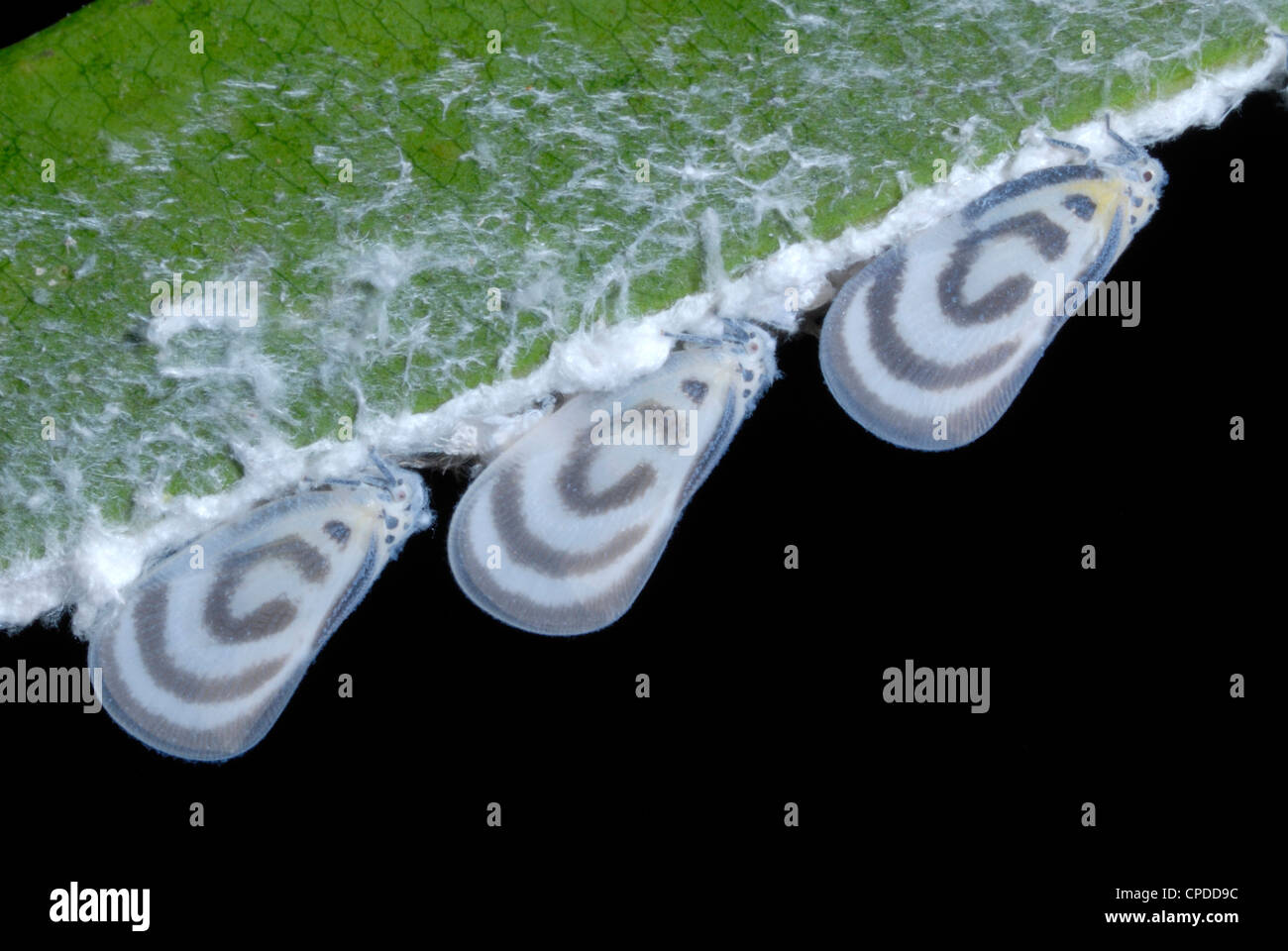 A line of Flatid Bugs (Fulgoridae sp.) in a Thai rainforest - Stock Image