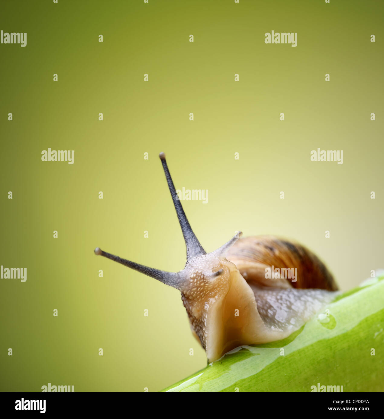 Common garden snail crawling on green stem of plant - Stock Image