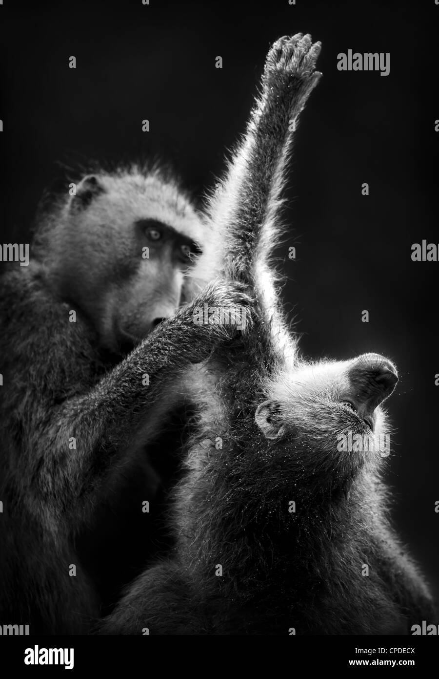 Baboons grooming (Artistic processing) - Stock Image