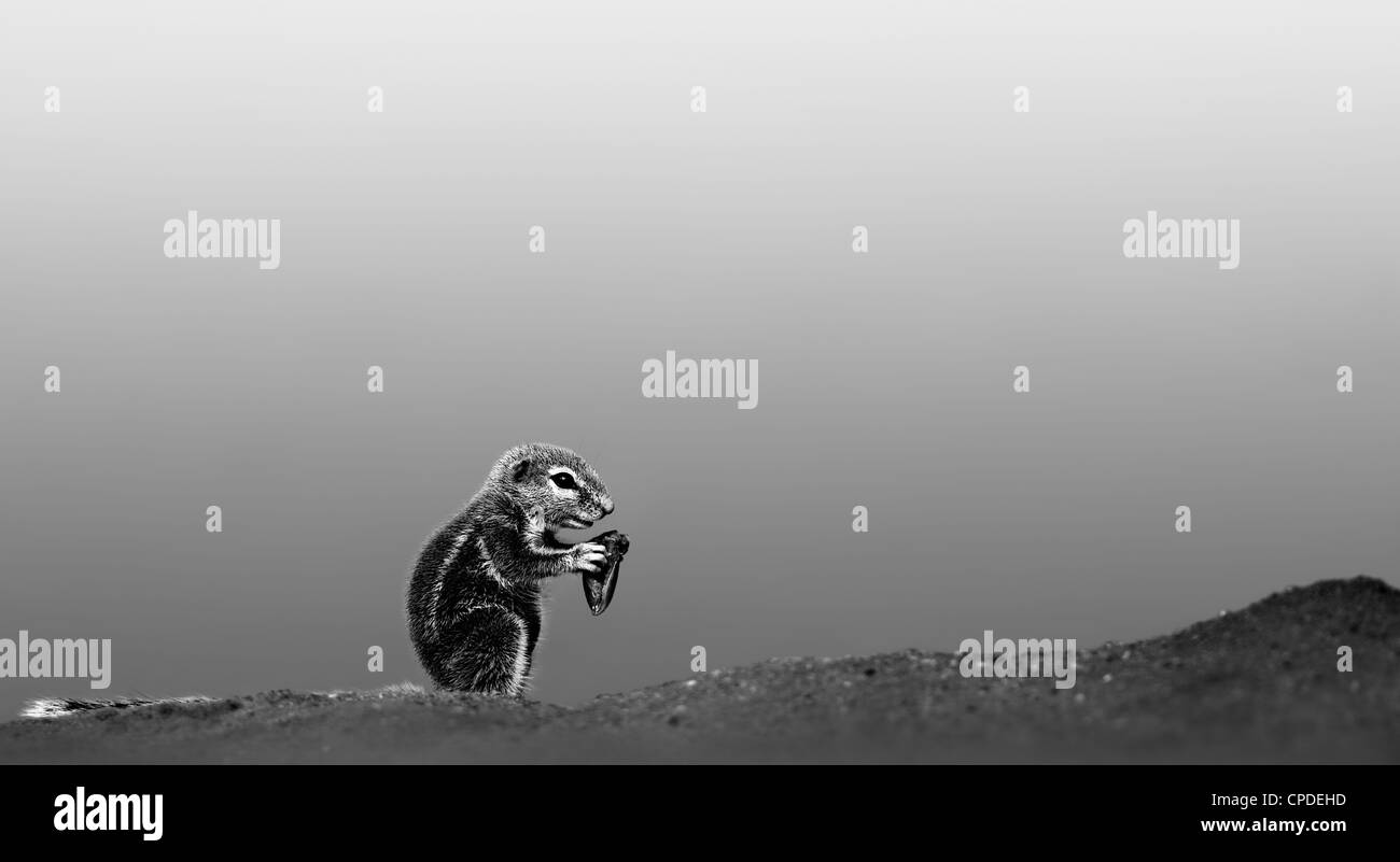 Ground squirrel feeding in desert (Artistic processing) - Stock Image