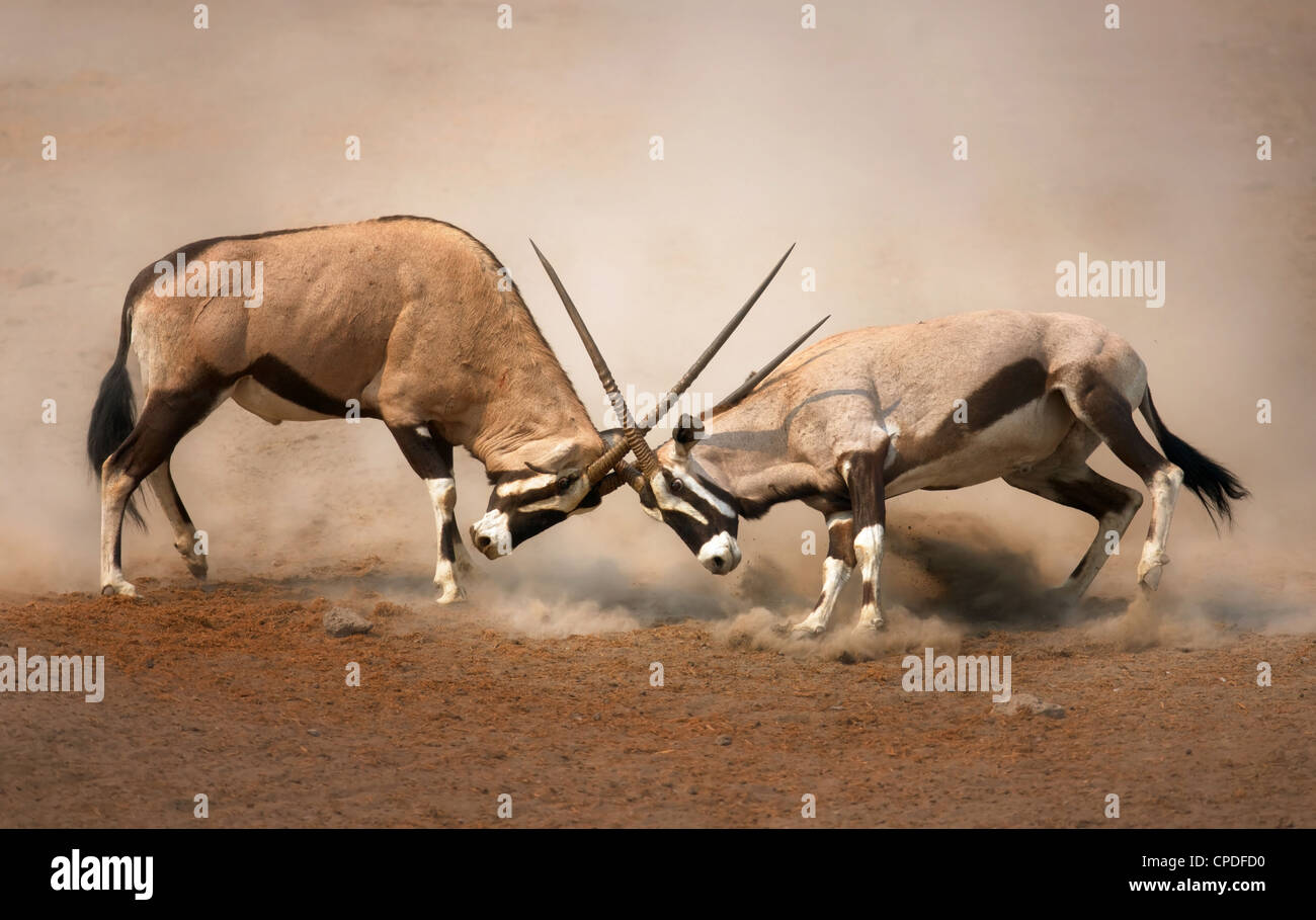 Intense fight between two male Gemsbok on dusty plains of Etosha - Stock Image