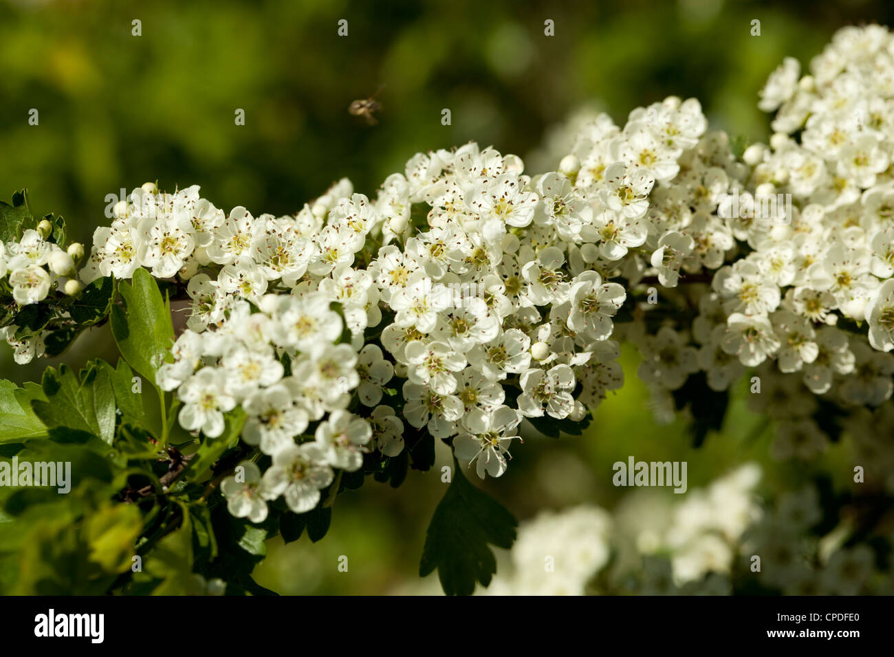 hawthorn tree with white flowers on branch Stock Photo