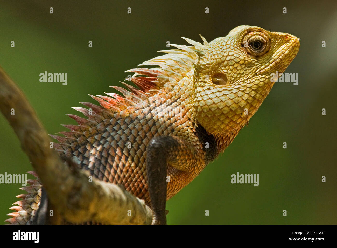 Common Garden Lizard (Calotes versicolor), an Agamid lizard seen in ...