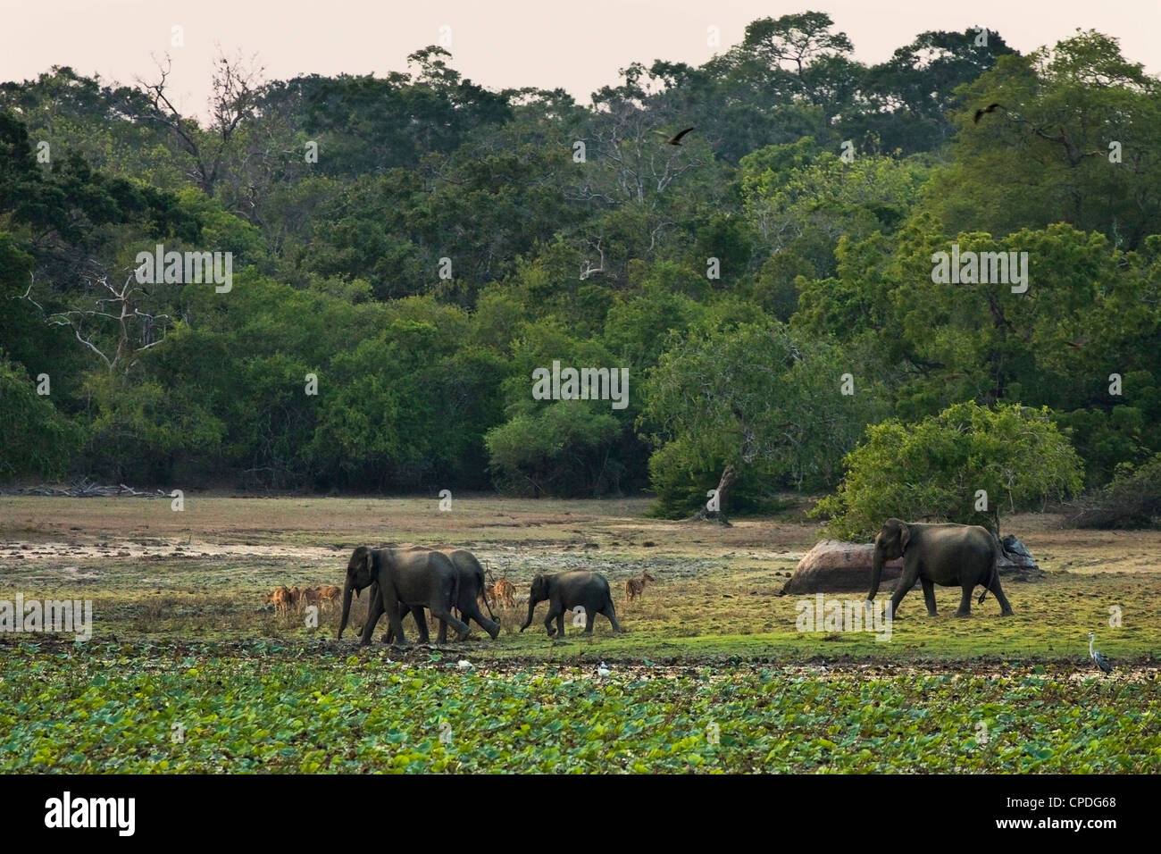 Elephants and spotted deer at twilight in Kumana National Park, formerly Yala East, Kumana, Eastern Province, Sri - Stock Image
