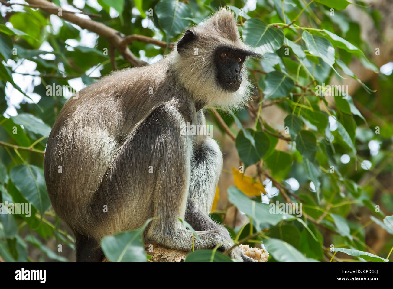 Grey (Hanuman) langur monkey in this sacred pilgrimage town, often seen begging at temples, Kataragama, Uva Province, - Stock Image