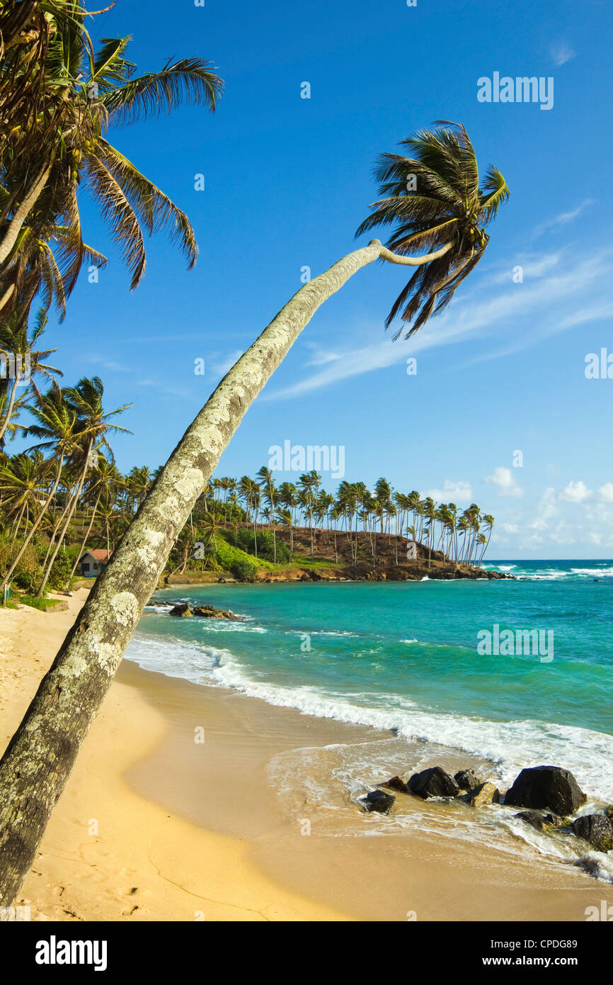 Palm trees at the eastern end of the south coast whale watch surf beach at Mirissa, near Matara, Southern Province, - Stock Image