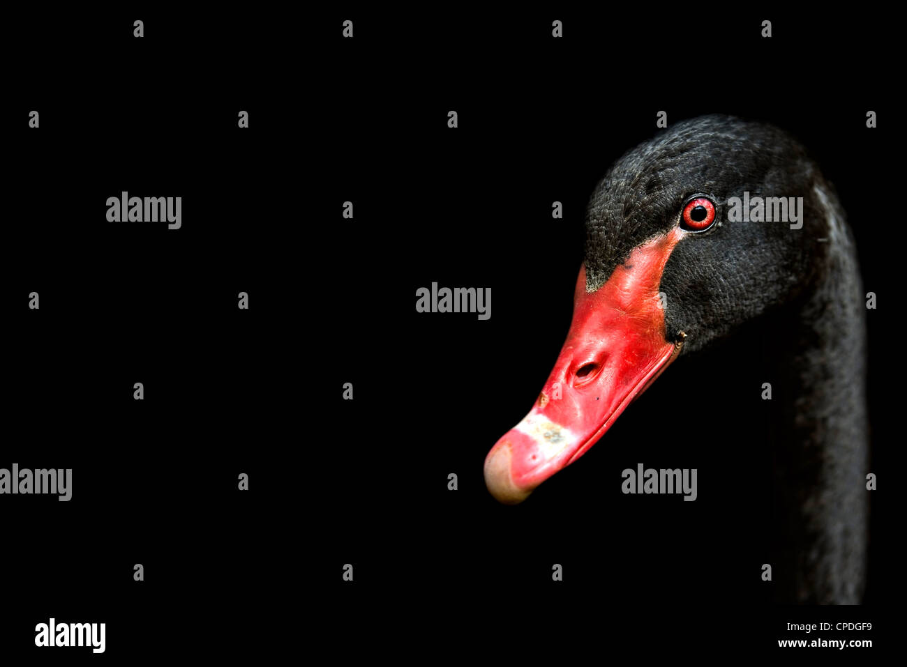 Close-up of a black swan showing off the intense red against black background - Stock Image