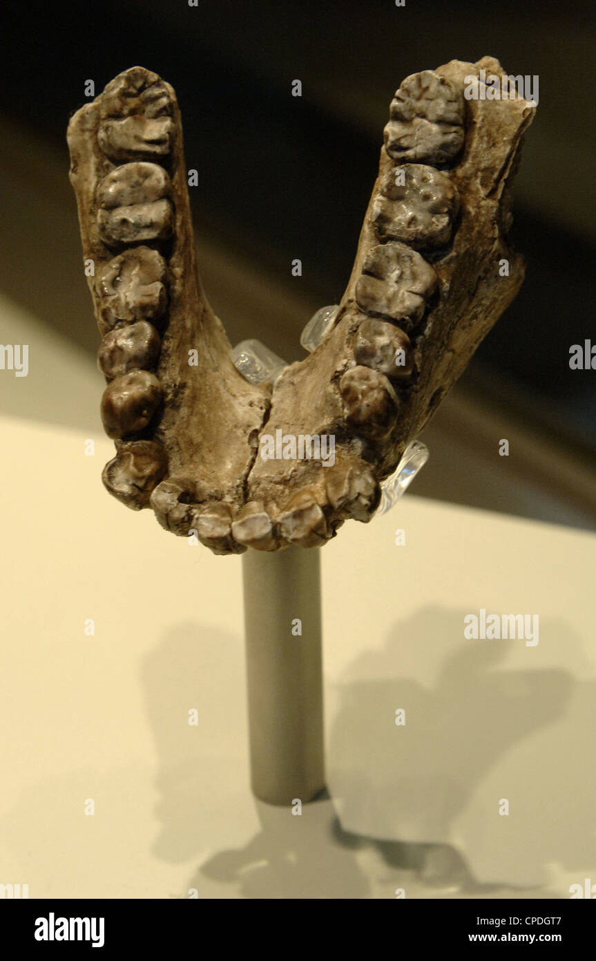Jaw of Australopithecus anamensis. Pliocene. Located in Kanapoi, Kenya. Natural History Museum. London. United Kingdom. - Stock Image