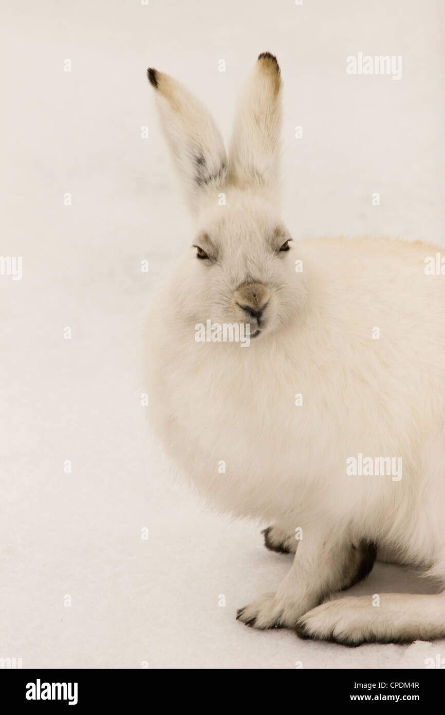 rabbit arctic hare bunny snow white rabbit hop - Stock Image