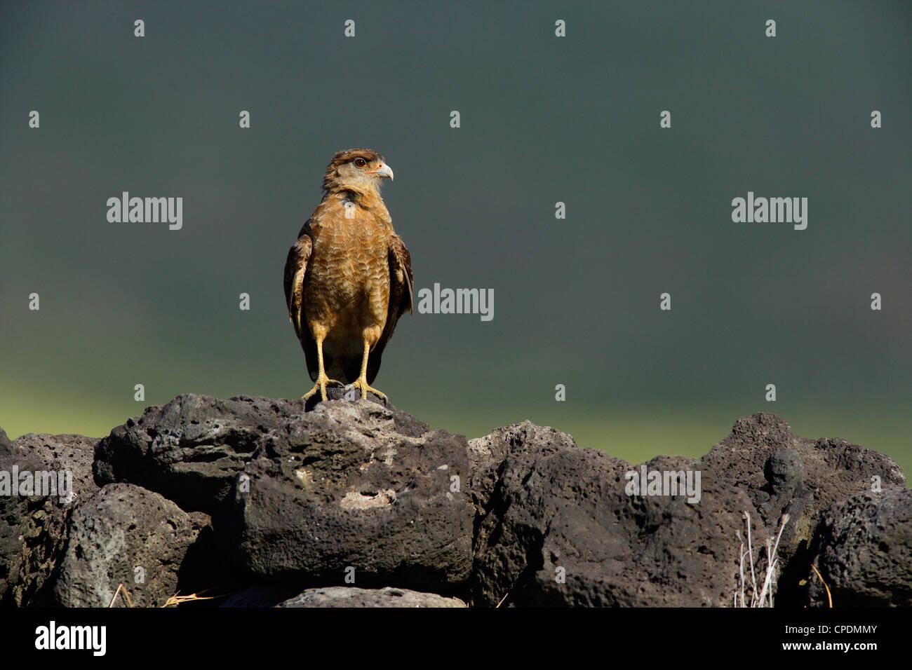 Chimango Caracara or Tiuque (Milvago chimango), Easter Island (Pascua or Rapa Nui), Chile Stock Photo
