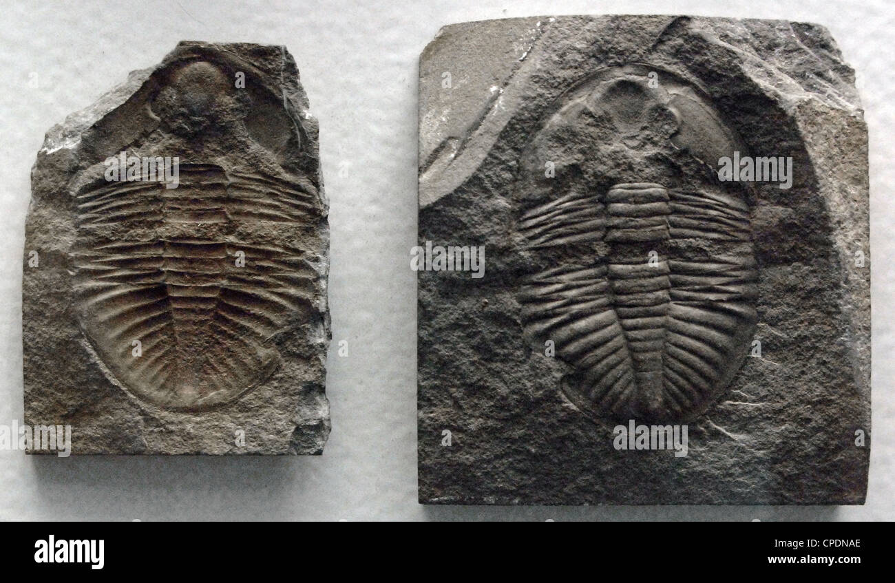 Fossil of Trilobites. Ordovician Period. 500 million years. Located in Builth. Wales. - Stock Image