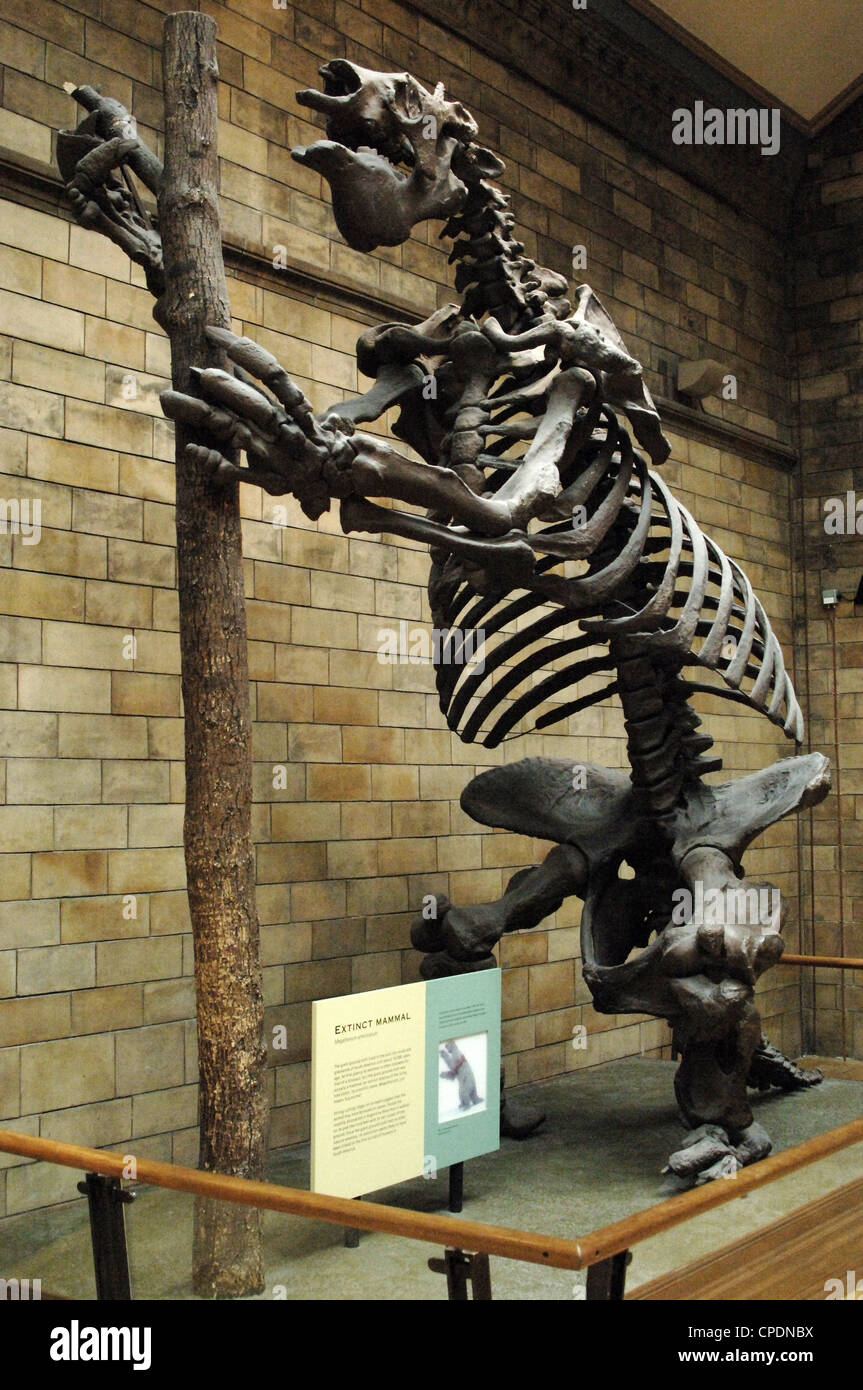00f3c1735e0a9 Skeleton of Giant ground sloth (Megatherium americanum). Natural History  Museum. London.